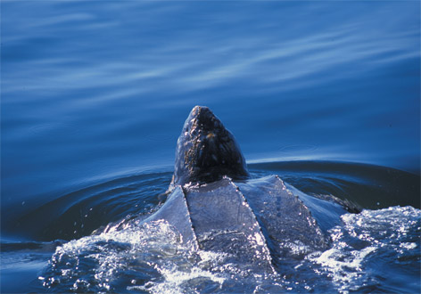 Looking for leatherbacks in B.C.