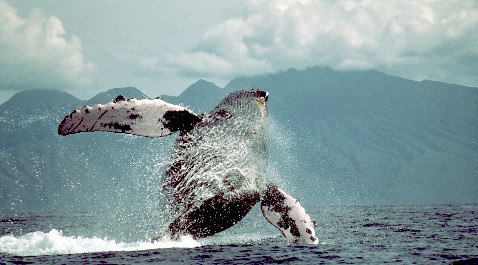 Humpbacks make a SPLASH in the N. Pacific