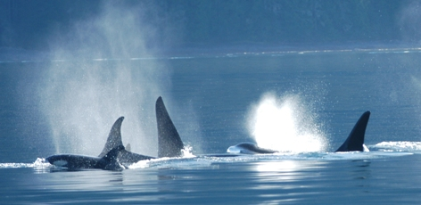 Polluted chinook bad news for killer whales