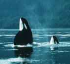 Wild Whales at Orca Day on Pender Island!