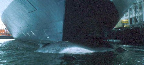 Ship strikes threaten fin whales