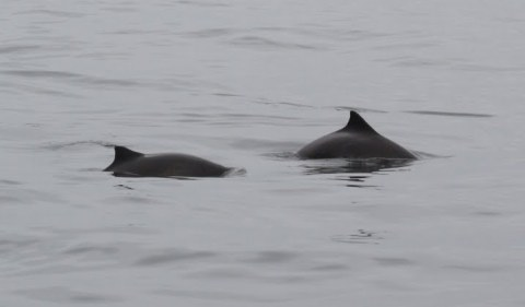 The Secret Life of Harbour Porpoises