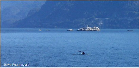 Humpback Comeback in Howe Sound