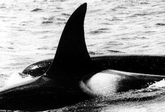 Resident killer whales:  A family affair?