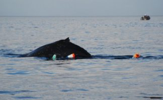 Entangled whale brings issue to spotlight