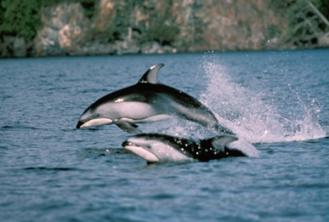 Bycatch #1 threat to toothed whales