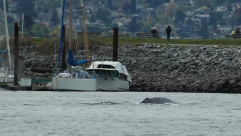 Grey whale in the city AGAIN!
