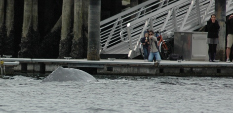 Grey whale in the city!