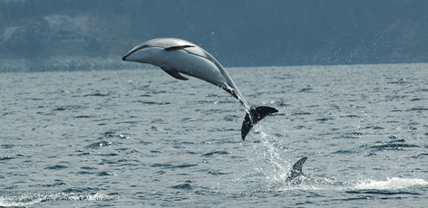 From the field:  Dolphins in Howe Sound