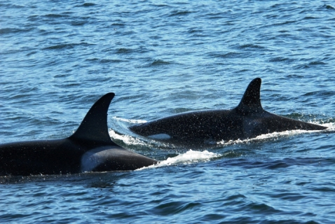 Offshore Killer Whales: A Diet Discovery!
