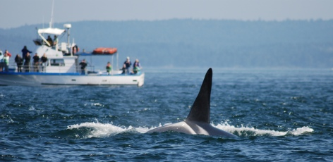 Killer Whale Action Plan Consultation