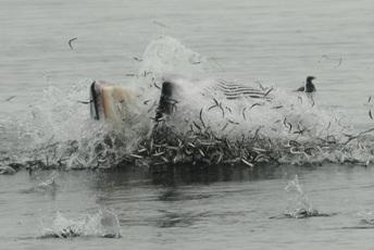Lunge-Feeding Minke Whales!