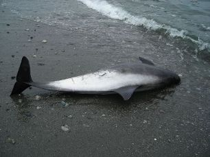 Pregnant hybrid porpoise strands off WA