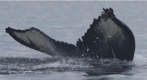 Humpback in Danger from Entanglement