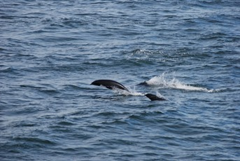 A Lesser Known Dolphin Found In BC Waters