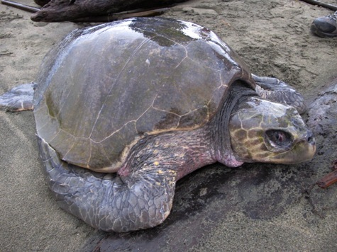 Two Sea Turtles Found In a Single Week!