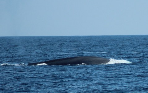 From the Field: Sri Lankan Blue Whales!