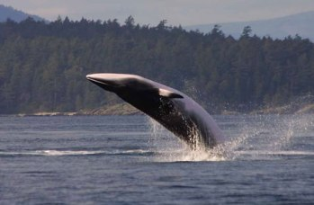 Hearing in Baleen Whales Amplified