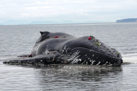 Entangled humpback whale stranded
