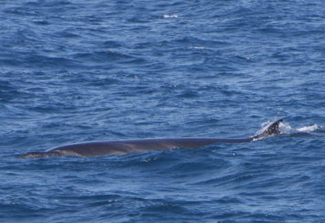 Sei: A whale of the past?
