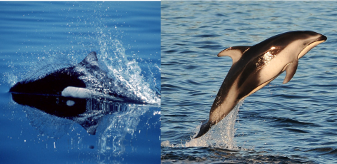 Dolphin vs. Porpoise: What's the difference?