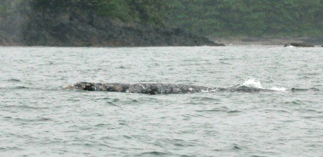 From the field: Grey whale tales