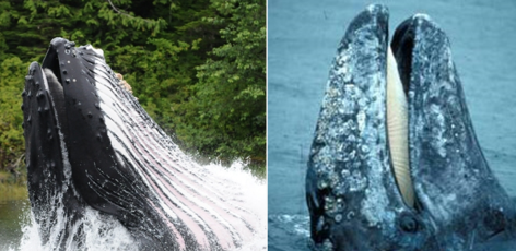 Who's Who? Big whales of B.C.