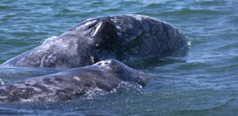 Conjoined Grey Whale Twins a First