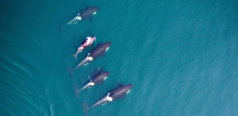Measuring Killer Whales from the Air