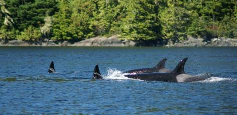 Seeing Cetaceans from Salmon Coast