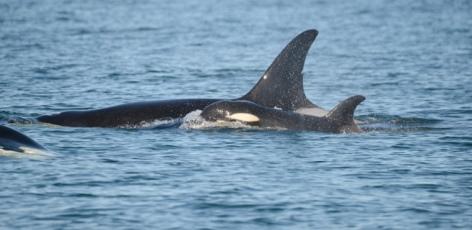 Missing killer whale