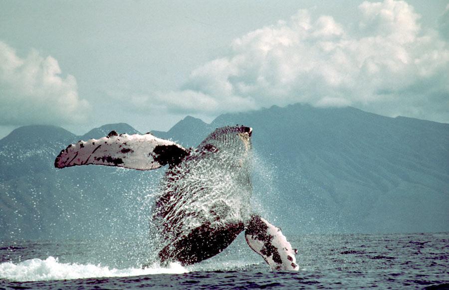Hotspot for Humpbacks?