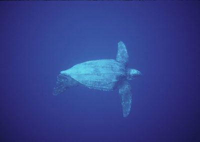 leatherback1_popup