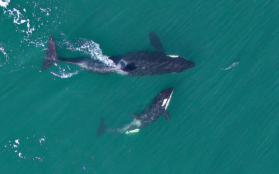Two More Endangered Southern Resident Killer Whales Will Likely Die by Summer, Experts Say