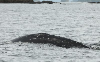 COSEWIC Recommends an Endangered Listing for Canada's Eastern Pacific Grey Whales