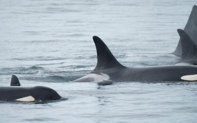 Conservation Organizations File a Petition for an Emergency Order to Protect Southern Resident Killer Whales