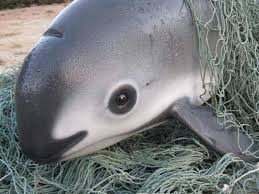 The Plight of the Vaquita