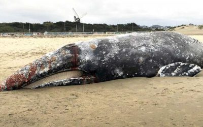 Unusual Grey Whale Mortality Event
