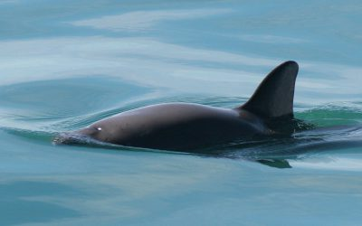 Back From the Brink – Can the Vaquita be Saved?