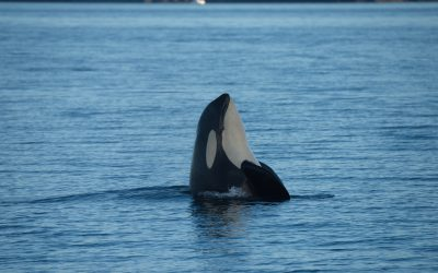 A Summer of Heartbreak: Remembering our lost Southern Resident Killer Whales