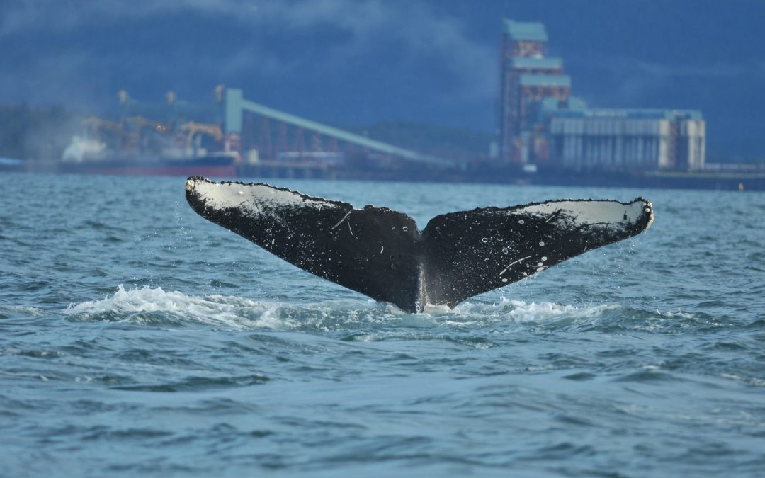 New Humpback Identification Catalogue for the North Coast
