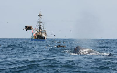 Whale Depredation: Sneaking an easy Snack
