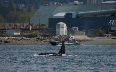 Unexpected Urban Whales: City Slicker Cetaceans Sighted During Coronavirus