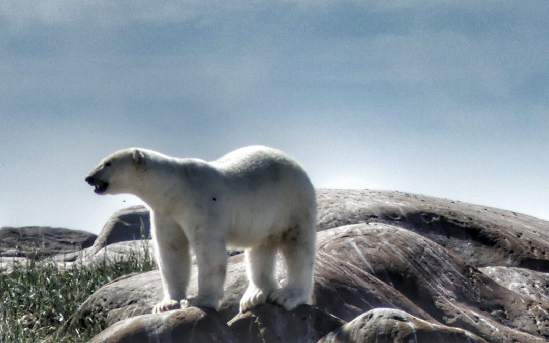 Churchill, Manitoba; Putting Polar Bears on the Radar