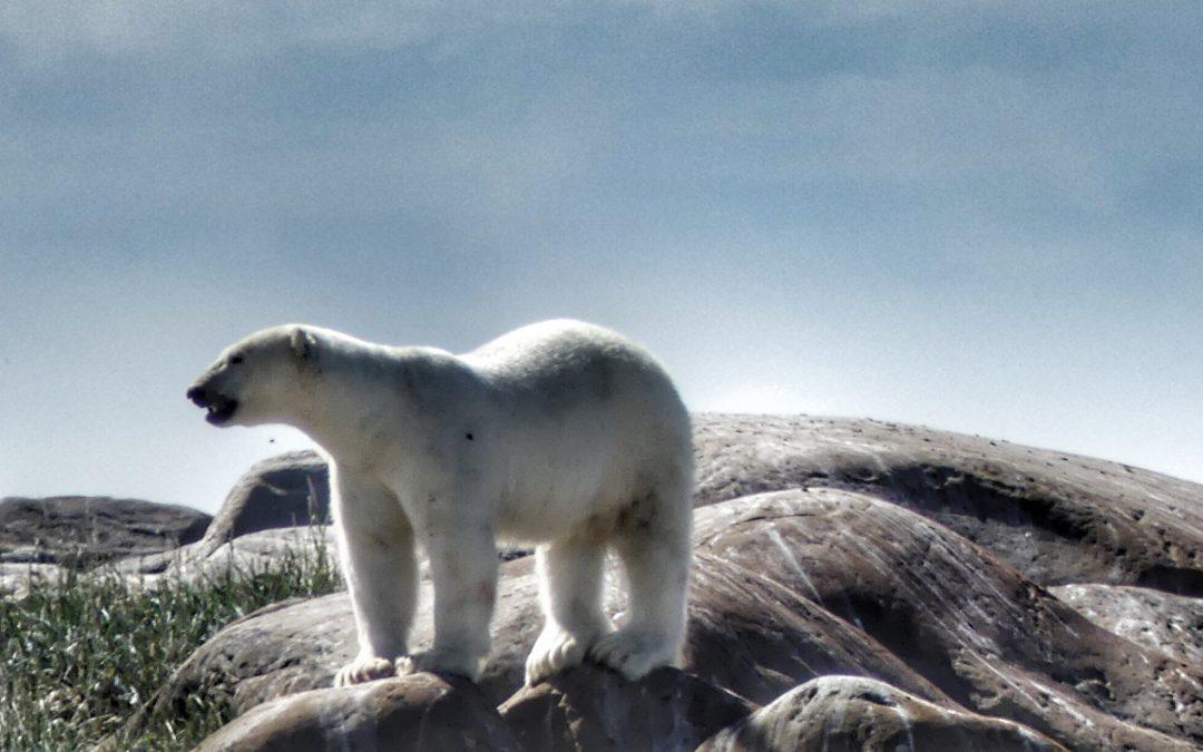 Churchill, Manitoba; Putting Polar Bears on the Radar