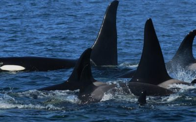 Tracking Contaminants in Killer Whale Habitats